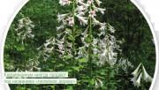Лилейное дерево - как не обмануть себя