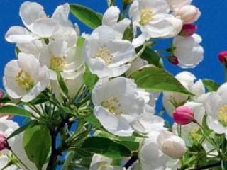 Декоративные яблони - сорта посадка и уход