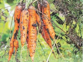 Морковь посадка и уход - хитрости