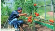 Советы по выращиванию томатов, помидоров