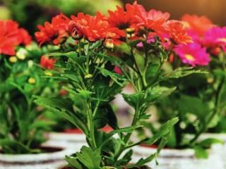 Как выращивать хризантемы
