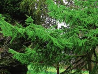 Сорта лиственницы, уход и размножения