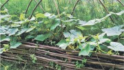 Старый метод выращивание огурцов