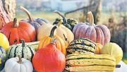 Выращивание тыквы и кабачков