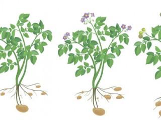 Методы получения семян картофеля