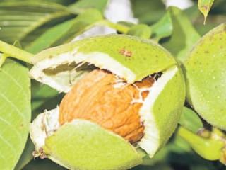 Как повысить урожай орехов