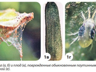 Вредители огурца