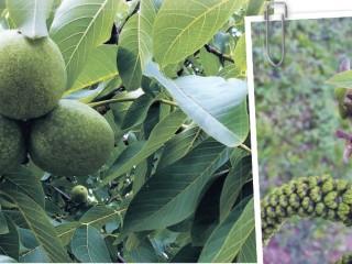 Выращивание грецких орехов в средней полосе России