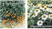 Новинки цветы однолетние