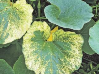 Признаки хлороза у растений