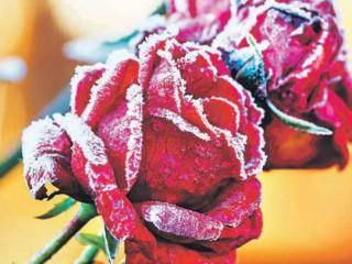 Розы оставляю про запаса