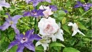 Розовый сад в миниатюре