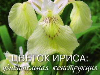 Интересные факты о цветке ирисе