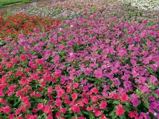 Катарантус  - выращивание, уход, посадка