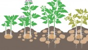 Нюансы выращивание картофеля