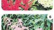 Садовые композиции из астильб