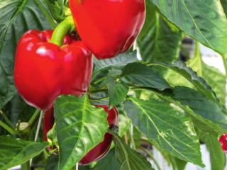Сладкий перец - особенности выращивания