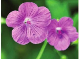 Цветы которые отпугивают вредителей