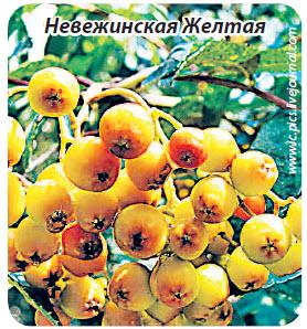 сорт рябины Невеженская Желтая