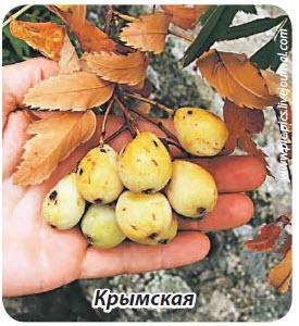 сорт рябины Крымская