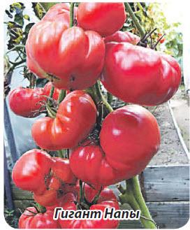 сорт помидор Гигант Напы