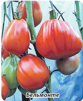 сорт помидор Бельмонте