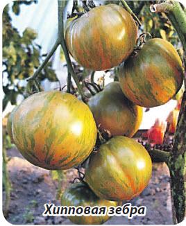 Сорт помидор Хипповая зебра