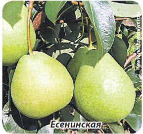 груша Есенинская