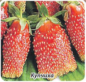 Сорт клубники земляники Купчиха