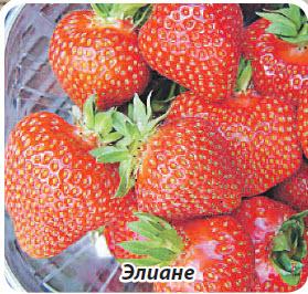 Сорт клубники земляники Элиане