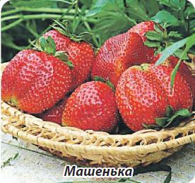 Сорт клубники земляники Машенька