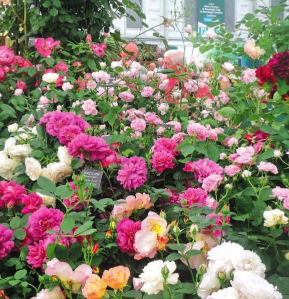 Роскошные английские розы
