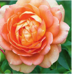 роза Ledy of Shalott