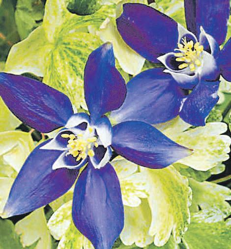 Аквилегия Сильвер Эдж Мультиплекс (Silver Edge) привлекательна вариегатной листвой и синими простыми цветками.