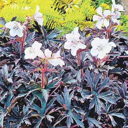 Герань садовая Перпл Гост (Purple Ghost) поражает контрастом белоснежных цветов на фоне почти черной листвы.