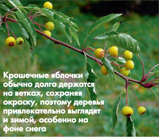Яблоня переходная