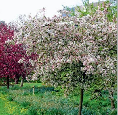 Яблоня обильноцветущая и яблоня «Liset»