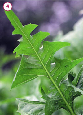 Листья цикория на летней грядке