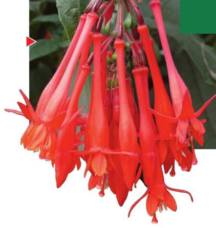 Цветы фуксии трехлистной
