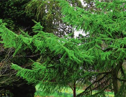 Лиственница даурская, или Гмелина, форма japonica