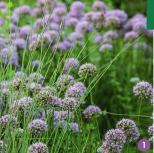 Лук угловатый «Summer Beauty» цветет в конце июля, эффектно смотрится среди декоративных злаков