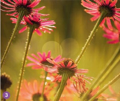 Эхинацея теннесийская отличается яркими цветками, похожими на ромашки