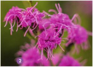 Лиатрис цилиндрическая цветет во второй половине лета