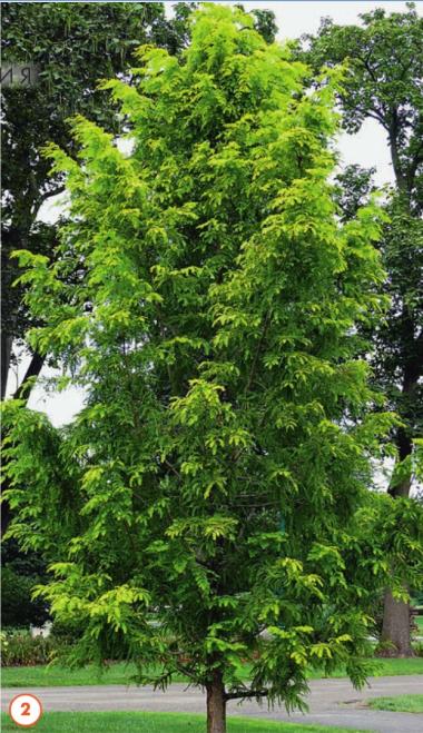 """Взрослое дерево метасеквойя """"Gold Rush"""""""