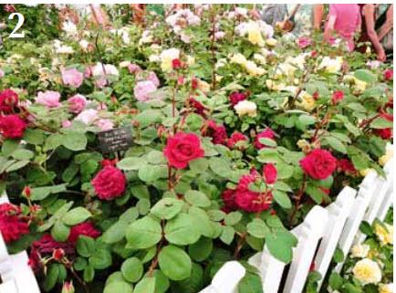 Палисадник: разноцветье за заборчиком