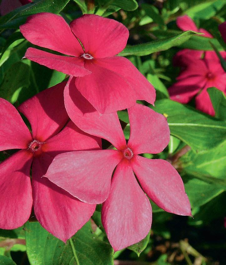 Катарантус розовый «Cora Cascade Magenta»