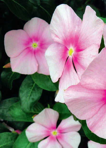 Катарантус розовый «Cora Cascade Strawberry»