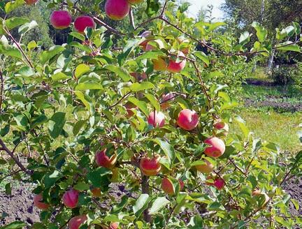 Взрослое дерево ябони сорта «Конфетное»