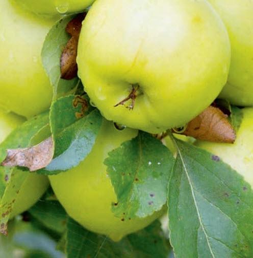 Яблоня «Московская грушовка»