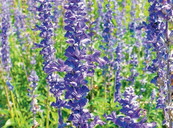 Шалфей мучнистый, сорт «Blue Emotion» (Salvia farinacea «Blue Emotion»)
